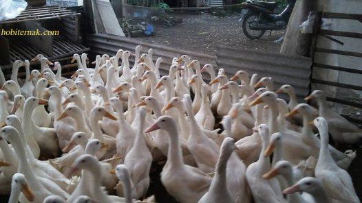 Cara Ternak Bebek Peking Pedaging dengan Hasil Maksimal