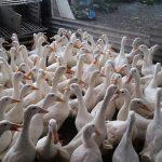 Perbedaan Antara Bebek Peking dan Bebek Hibrida