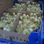 DOD Bebek Peking KW. Masa panen dari bebek peking yaitu 45 hari dan termasuk dalam jenis bebek pedaging