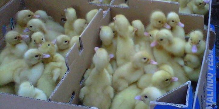Penanganan Pasca Panen Terhadap Produksi Telur Bebek