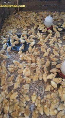Harga DOD Bebek Peking Hibrida Pedaging Untuk Daerah Pontianak