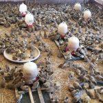 Harga Jual DOD atau Bibit Bebek Peking dan Hibrida Pedaging Untuk Daerah Bekasi