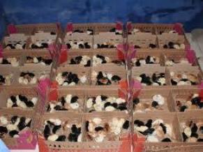 Harga Jual DOC atau Bibit Ayam Kampung Super (JOPER) untuk Daerah Probolinggo