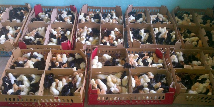 8 Gangguan Kesehatan Akibat Kekurangan Nutrisi Pada Ayam Kampung Super