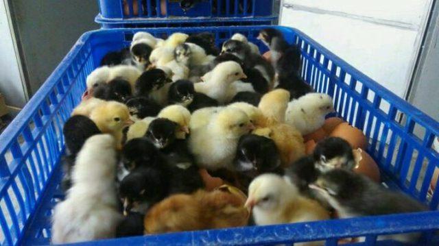 Pengiriman DOC Ayam Kampung Super Pesanan Bapak Zikrullah di Ternate