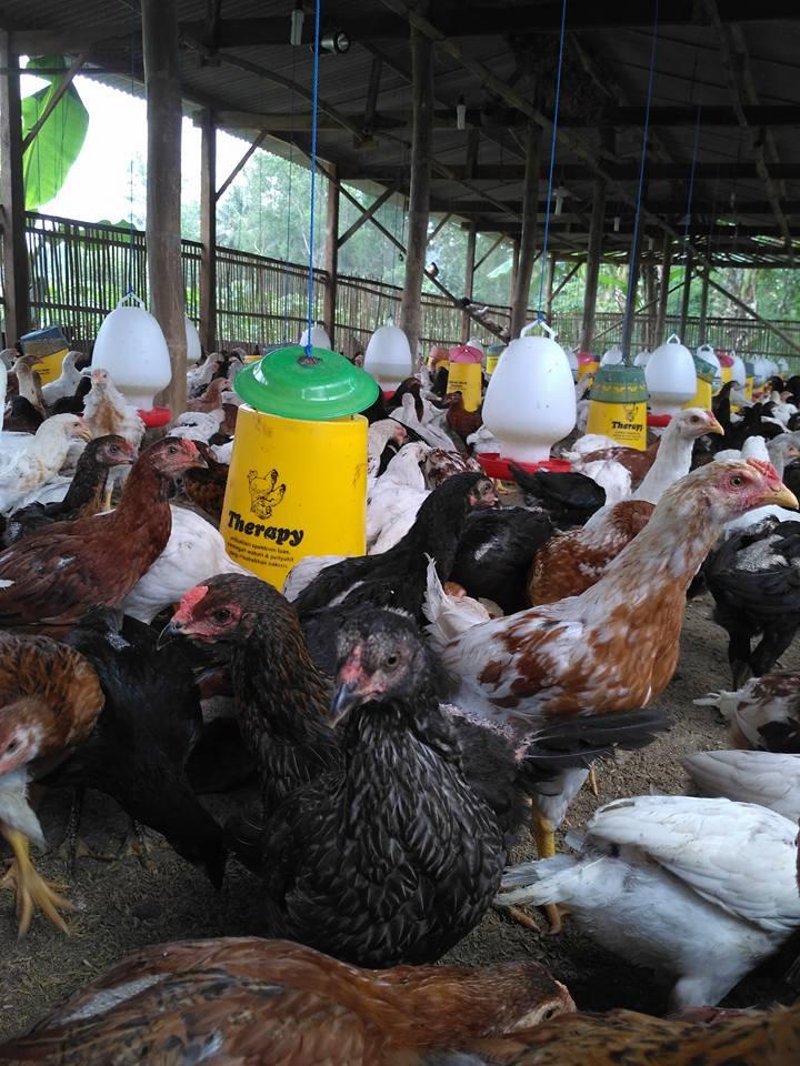 Panduan Beternak Ayam Kampung Super Bagi Pemula