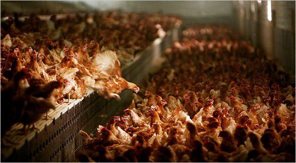 Mengatasi Kanibalisme yang Terjadi Pada Anak Ayam Kampung Super