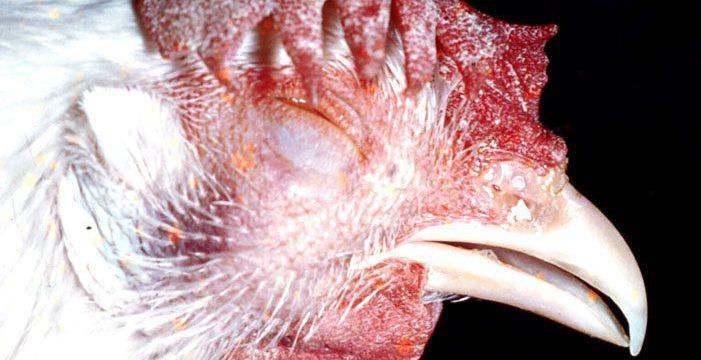 3 Penyebab dan Cara Mengatasi Penyakit Ngorok Pada Ayam Kampung Super