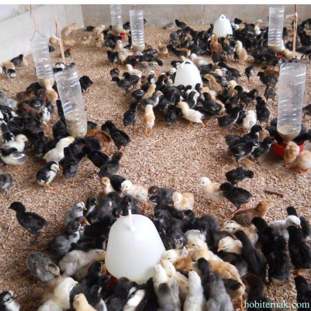 Banyak masyarakat Jogja yang berkeinginan untuk ternak ayam pedaging salah satu ayam yang di pilih yaitu ayam JOPER