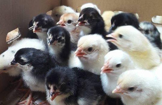Harga Jual DOC atau Bibit Ayam Kampung Super (JOPER) untuk Daerah Prabumulih