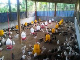 Kondisi Kandang DOC Ayam Kampung Super atau ayam joper yang di ambil gambarnya saat siang hari