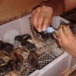 Program Vaksinasi dan Pemberian Berbagai Multivitamin Untuk Ayam Kampung Super