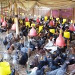 5 Persyaratan Untuk Dapat Memanen Ayam Kampung Super