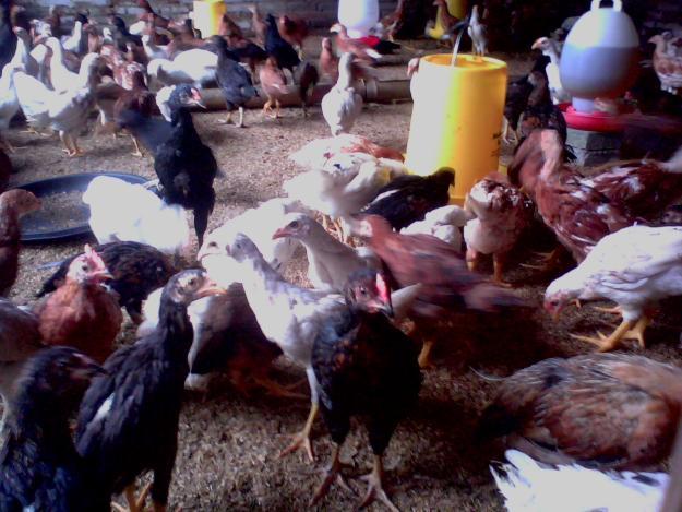 Ternak Ayam Kampung Super Dengan Cara Cepat