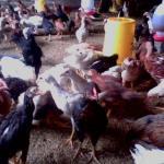 Budidaya DOC Ayam Kampung Super Pedaging Bagi Peternak Pemula