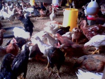 Usaha Ternak Ayam Kampung Super
