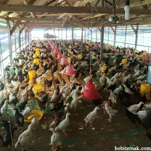 PIlihan kandang model panggung ini untuk Ayam Kampung Super ayam joper ini memang menguntungkan dari segi pengelolaan kotoran dan kadang tetap kering. Ganguan hewan lain di kandang tipe ini juga bisa di minimalisir | joper di kandang panggung