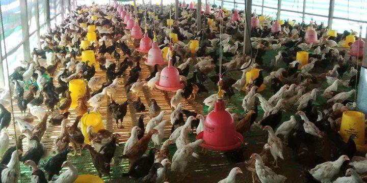 Jenis Kandang yang Baik untuk Pemeliharaan DOC Ayam Kampung Super Hingga Dewasa