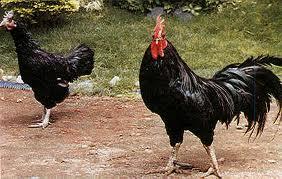 ayam kedu
