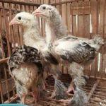 Beberapa Kelebihan Yang Bisa Kita Peroleh Saat memelihara Ayam Brahma