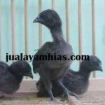 Kenali Makanan Khusus Ayam Cemani untuk Menghasilkan Ternak yang Berkualitas dan Menguntungkan