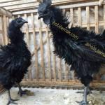 Ayam Cemani Walik