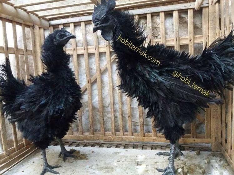 kegunaan ayam cemani walik