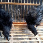 Ayam Cemani Walik Usia 2,5 Bulan