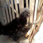 Ayam Cemani Walik Usia 4 Bulan2