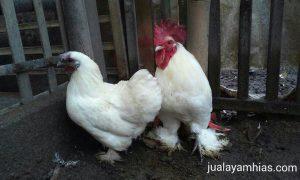 jual ayam cochin