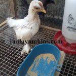 Ayam Chocin Usia 1 Bulan