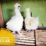 Ayam Kapas Usia 3 Bulan2