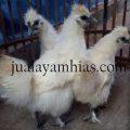 Ayam Kapas Usia 4 Bulan