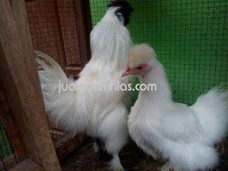 harga ayam kapas