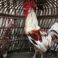 Ayam Ketawa Dewasa Sepasang2