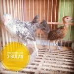 Ayam Ketawa Usia 3 Bulan1
