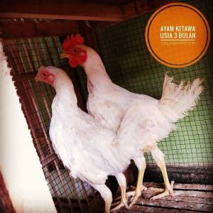 Ayam Ketawa Hatching Eggs