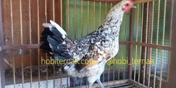 Mengenal Ayam Ketawa Beserta Ciri-Ciri Ayam Ketawa