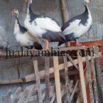 Ayam Mutiara Plangkok Dewasa1
