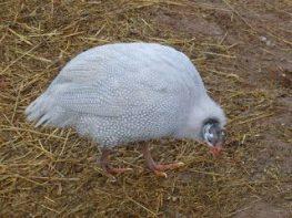 cara budidaya ayam mutiara