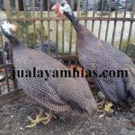 Ayam Mutiara Usia 4 Bulan
