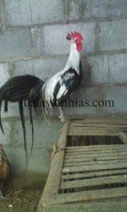 Ayam Onagadori Dewasa Jantan1