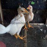 Ayam Onagadori usia 2 bulan