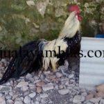 Ayam Phoenix Dewasa Jantan1