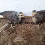Ayam Phoenix Usia 2 Bulan