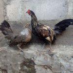 Ayam Phoenix Usia 4 Bulan