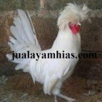 Ayam Poland Dewasa Jantan3