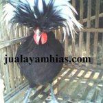 Ayam Poland Dewasa Jantan5