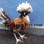 Ayam Poland Dewasa2