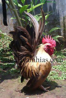 The male serama chicken